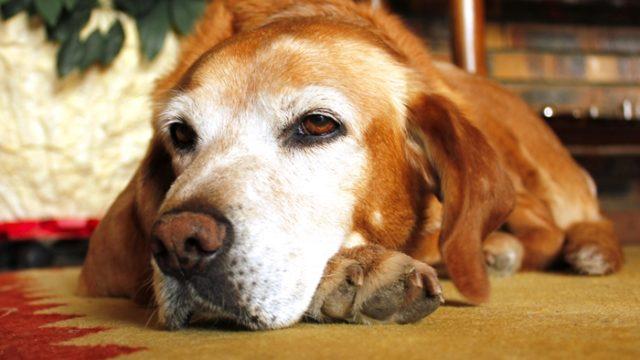 老犬用ドッグフード