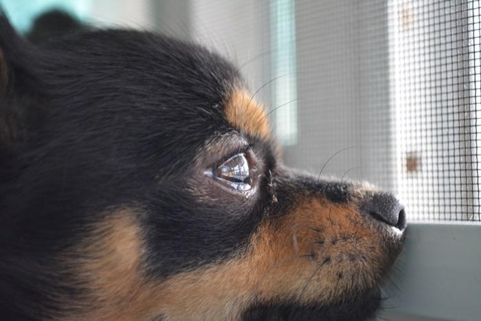 涙やけが多い犬種